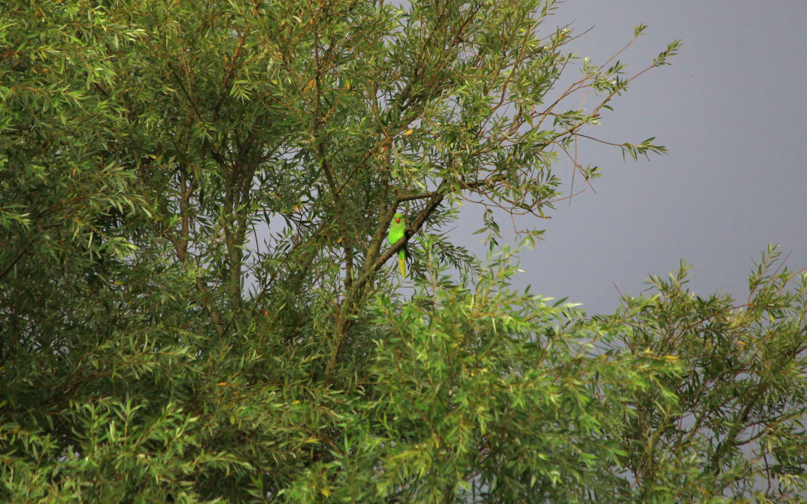 Parakeet in_Amsterdam